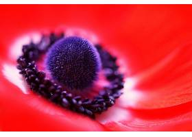 地球,海葵,花,自然,花,巨,红色,花,壁纸,图片