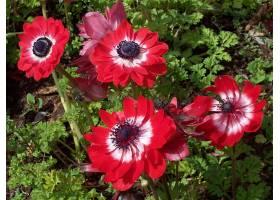地球,海葵,花,自然,花,特写镜头,红色,花,壁纸,图片