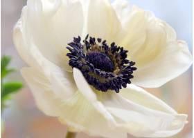 地球,海葵,花,自然,花,白色,花,巨,壁纸,图片