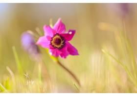 地球,海葵,花,自然,花,粉红色,花,壁纸,图片