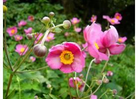 地球,海葵,花,自然,花,粉红色,花,特写镜头,壁纸,图片