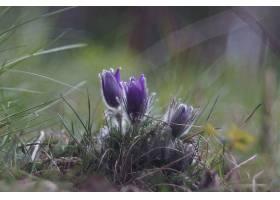 地球,海葵,花,自然,花,紫色,花,壁纸,图片