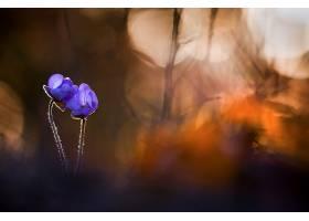 地球,海葵,花,花,Bokeh,紫色,花,壁纸,图片