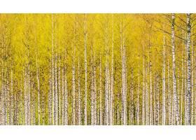 地球,桦树,自然,树,森林,壁纸,(1)图片
