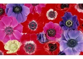 地球,海葵,花,花,彩色,富有色彩的,特写镜头,红色,花,紫色,花,粉图片
