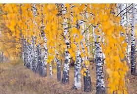 地球,桦树,自然,树,秋天,绿树成荫,壁纸,图片