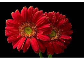 地球,大丁草,花,花,红色,花,壁纸,(5)图片