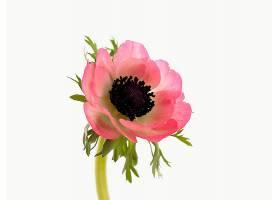 地球,海葵,花,花,特写镜头,粉红色,花,壁纸,(1)图片