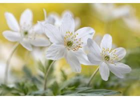 地球,海葵,花,花,白色,花,特写镜头,壁纸,图片