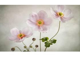地球,海葵,花,花,粉红色,花,壁纸,(1)图片