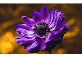 地球,海葵,花,花,紫色,花,Bokeh,壁纸,图片