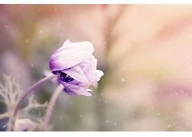 地球,海葵,花,花,紫色,花,壁纸,(1)图片