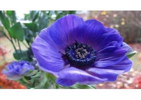 地球,海葵,花,花,紫色,花,壁纸,(2)图片