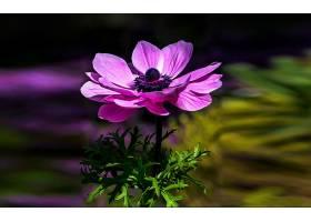 地球,海葵,花,花,紫色,花,壁纸,(4)图片