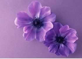地球,海葵,花,花,紫色,花,壁纸,(5)图片