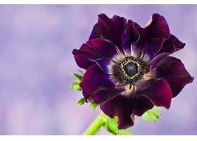 地球,海葵,花,花,紫色,花,壁纸,图片
