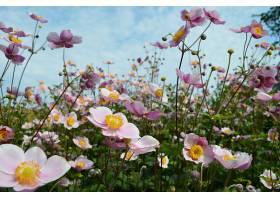 地球,海葵,花,花,自然,粉红色,花,壁纸,图片
