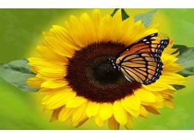 向日葵,花,花,蝴蝶,特写镜头,黄色,花,壁纸,图片