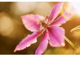 铁线莲,花,粉红色,花,花,Bokeh,自然,巨,壁纸,图片