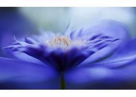 铁线莲,花,紫色,花,花,自然,巨,壁纸,图片