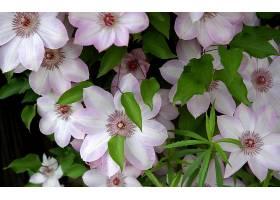 铁线莲,花,花,叶子,粉红色,花,壁纸,图片