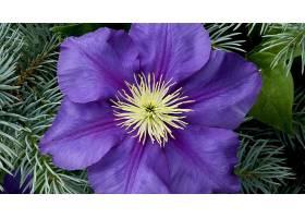 铁线莲,花,花,特写镜头,紫色,花,壁纸,图片