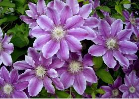铁线莲,花,花,特写镜头,自然,紫色,花,壁纸,图片