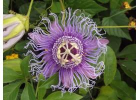热情,花,花,花,特写镜头,紫色,花,西番莲,壁纸,图片