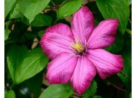铁线莲,花,花,粉红色,花,自然,壁纸,图片