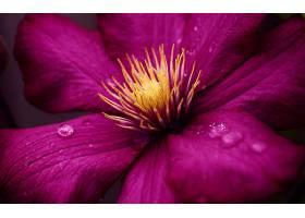 铁线莲,花,花,紫色,花,壁纸,图片