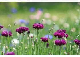 矢车菊,花,花,自然,紫色,花,Bokeh,壁纸,图片