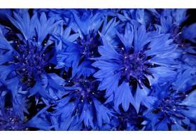 矢车菊,花,花,蓝色,花,壁纸,(1)图片