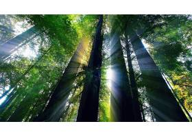 阳光,森林,树,红杉,阳光,阳光,壁纸,图片