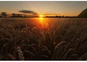小麦,自然,夏天,日出,领域,壁纸,图片