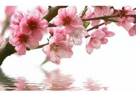 地球,花,花,樱桃,花,水,自然,粉红色,花,树枝,壁纸,