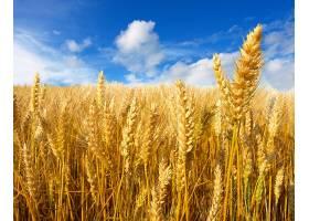 小麦,自然,夏天,领域,壁纸,(1)图片