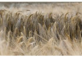 小麦,自然,夏天,领域,壁纸,(2)图片