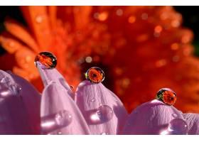 水,滴,自然,巨,反射,橙色的,花,粉红色,花,花,壁纸,图片