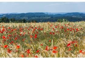 地球,领域,自然,夏天,小麦,罂粟,花,红色,花,深度,关于,领域,壁纸