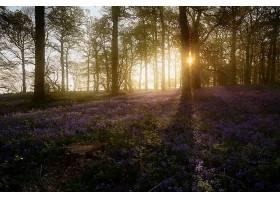 阳光,自然,花,日出,紫色,花,森林,壁纸,图片