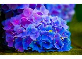 绣球花,花,花,特写镜头,蓝色,花,Bokeh,壁纸,图片