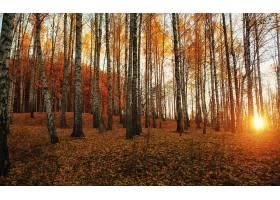森林,自然,树,桦树,日出,壁纸,图片