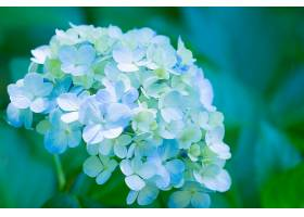 绣球花,花,花,特写镜头,蓝色,花,自然,壁纸,图片