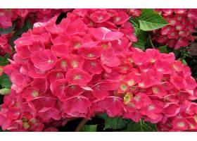 绣球花,花,花,粉红色,花,壁纸,(3)图片
