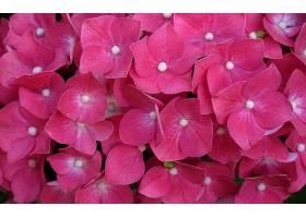 绣球花,花,花,粉红色,花,壁纸,图片