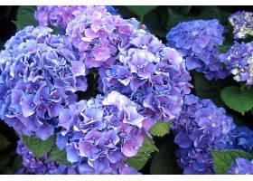 绣球花,花,花,紫色,花,壁纸,(2)图片