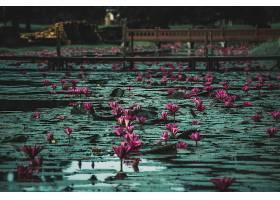 水,莉莉,花,花,自然,粉红色,花,公园,壁纸,图片