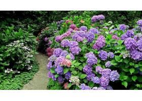 绣球花,花,花,紫色,花,壁纸,(4)图片