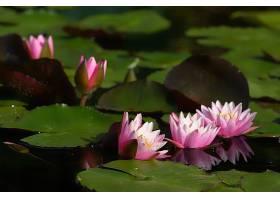 水,莉莉,花,花,自然,粉红色,花,叶子,水,壁纸,图片