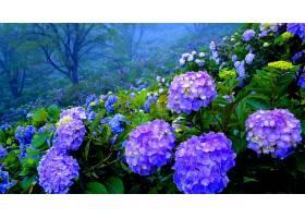 绣球花,花,花,紫色,花,壁纸,图片